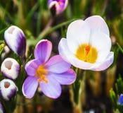 Florescência da flor da mola do açafrão Fotografia de Stock Royalty Free