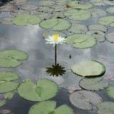 Florescência da flor de lótus brancos Foto de Stock