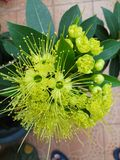 Florescência da flor de Xanthostemon Imagem de Stock