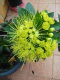 Florescência da flor de Xanthostemon Foto de Stock Royalty Free