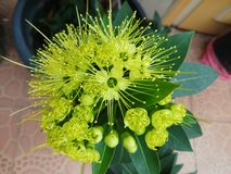 Florescência da flor de Xanthostemon Foto de Stock