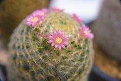 Florescência da flor do cacto - planta do cacto Imagens de Stock Royalty Free
