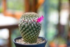 Florescência da flor do cacto - planta do cacto Fotos de Stock Royalty Free