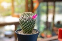 Florescência da flor do cacto - planta do cacto Fotos de Stock