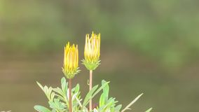 Florescência da flor do lapso de tempo video estoque