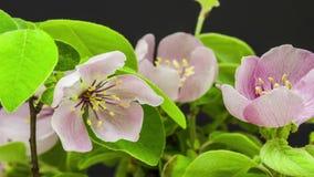 Florescência da flor do marmelo filme