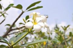 Florescência da flor do Plumeria Foto de Stock Royalty Free