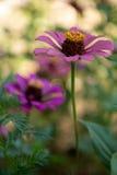 Florescência da flor do Zinnia Imagem de Stock Royalty Free