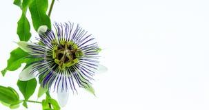 Florescência da flor da paixão video estoque