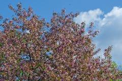 Florescência da maçã do paraíso Foto de Stock Royalty Free