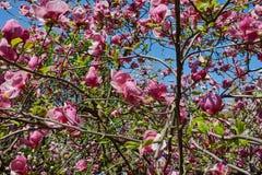 Florescência da magnólia Soulangeana na mola Fotos de Stock Royalty Free