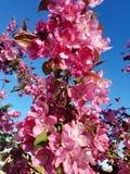 Florescência da mola Imagens de Stock Royalty Free