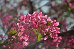 Florescência da mola Fotos de Stock Royalty Free