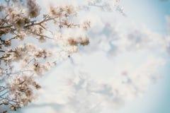 Florescência da mola A amêndoa cor-de-rosa floresce close up, fundo do borrão, espaço da cópia fotografia de stock