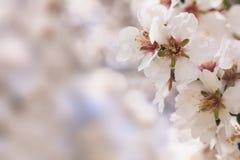 Florescência da mola A amêndoa cor-de-rosa floresce close up, fundo do borrão, espaço da cópia Imagem de Stock