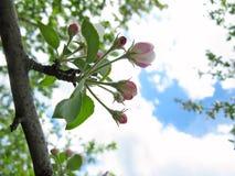 Florescência da mola de árvores de fruta Imagens de Stock Royalty Free