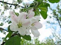 Florescência da mola de árvores de fruta Fotografia de Stock Royalty Free