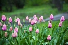 Florescência da mola de tulipas cor-de-rosa Fotografia de Stock Royalty Free