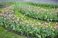 Florescência da mola de tulipas cor-de-rosa Imagem de Stock