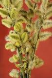 Florescência da mola de uma árvore Imagem de Stock Royalty Free