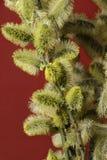 Florescência da mola de uma árvore Foto de Stock Royalty Free