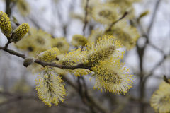 Florescência da mola de uma árvore com inflorescência brilhantes Foto de Stock Royalty Free
