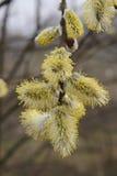 Florescência da mola de uma árvore com inflorescência brilhantes Imagens de Stock Royalty Free