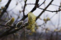 Florescência da mola dos galhos do salgueiro na chuva com gotas da água Imagens de Stock Royalty Free