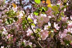 Florescência da mola Flores cor-de-rosa bonitas da árvore de maçã Fotografia de Stock