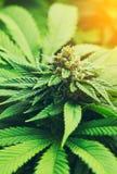 Florescência da planta de marijuana exterior imagens de stock royalty free