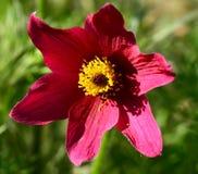 Florescência da planta do Pulsatilla (flor de pasque) Imagem de Stock Royalty Free