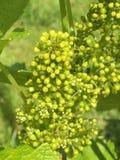 Florescência da uva imagens de stock