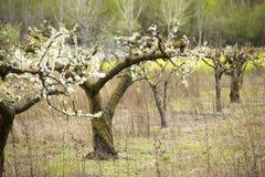 Florescência das árvores de amêndoa Imagem de Stock Royalty Free