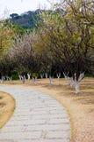 Florescência das árvores de ameixa imagens de stock