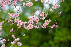 Florescência das árvores de ameixa Fotos de Stock Royalty Free