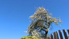 Florescência das flores brancas das maçãs com folhas novas Fotos de Stock