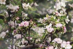 Florescência das flores cor-de-rosa brancas em uma árvore de maçã grande velha, backgr Imagem de Stock