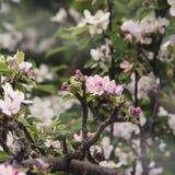 Florescência das flores cor-de-rosa brancas em uma árvore de maçã grande velha, backgr Imagens de Stock