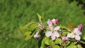 Florescência das flores cor-de-rosa brancas das maçãs com folhas novas Fotos de Stock