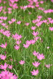A florescência das flores cor-de-rosa na pastagem Imagens de Stock