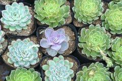Florescência das flores da azálea Imagens de Stock Royalty Free