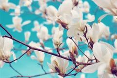 Florescência das flores da magnólia Fotos de Stock