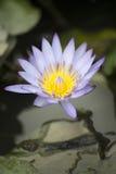 Florescência das flores das flores de Lotus ou do lírio de água Imagens de Stock Royalty Free