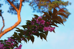Florescência das flores de Sakura Flor de cereja cor-de-rosa bonita fotos de stock royalty free