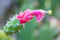 Florescência das flores do cacto Foto de Stock