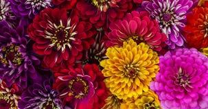Florescência das flores do Zinnia filme
