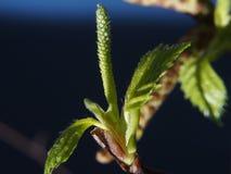 A florescência das folhas do vidoeiro da mola Sobre o fundo azul Fotos de Stock Royalty Free