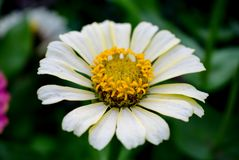 Florescência das margaridas Conceito de jardinagem imagem de stock