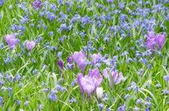 Florescência das prímulas, açafrões lilás Imagens de Stock