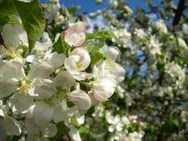 Florescência de árvores de maçã Fotos de Stock Royalty Free
